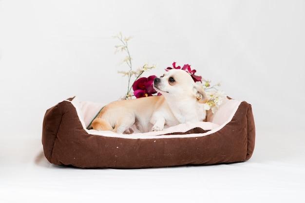 Mały pies rasowy w łóżku