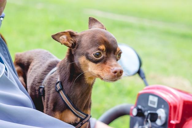Mały pies rasy terier rosyjski siedzi obok swojego właściciela na quadzie