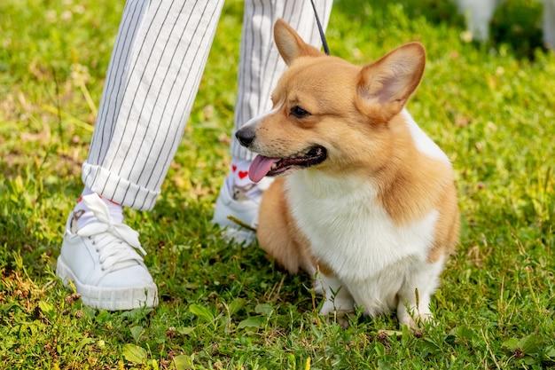 Mały pies rasy welsh corgi siedzi u stóp swojej kochanki. kobieta na spacerze z psem