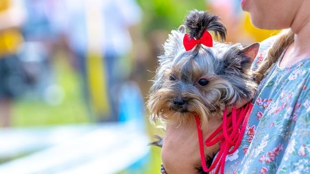 Mały pies rasy yorkshire terrier w ramionach kobiety w parku przy słonecznej pogodzie