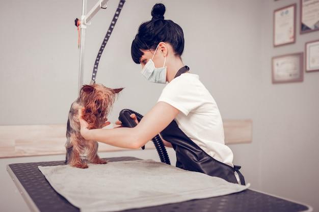 Mały pies się boi. śliczny piesek boi się suszarki w salonie fryzjerskim po umyciu