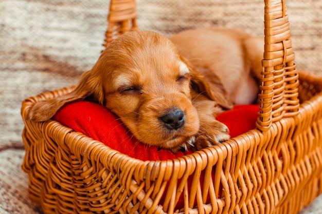 Mały pies śpi w schowku