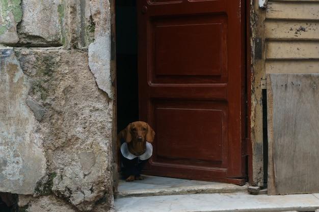 Mały pies ubrany w drzwi domu