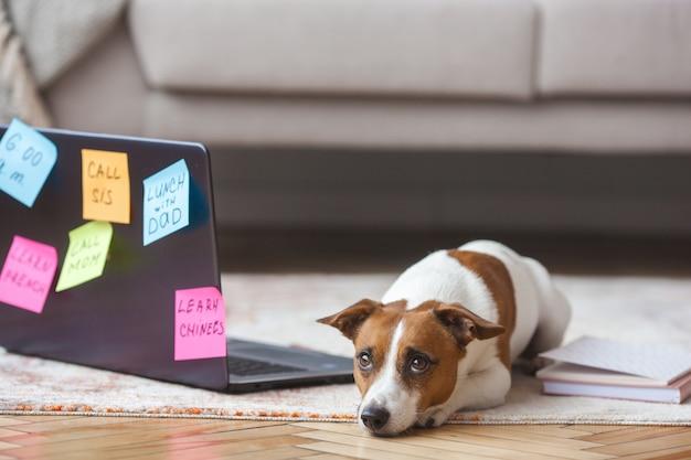 Mały pies w pomieszczeniu. ładny szczeniak z komputerem. pet w pracy laptopa. pies tęskni za swoim właścicielem. jack russel terrier przy samym komputerze. zajęty pies.