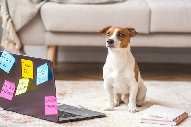 Mały pies w pomieszczeniu. zwierzę domowe przy laptopie. słodki pies mający wiele ludzkich zadań do zrobienia. przeciążony jack rassel terrier jest zajęty.