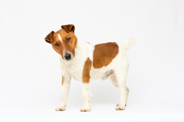 Mały pies w studio patrząc w górę. portret zwierzaka. jack russel terrier na białym tle