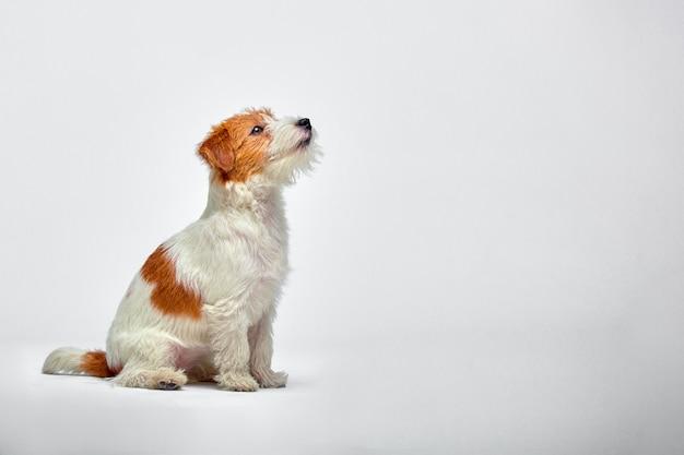 Mały pies w studio patrząc w górę. portret zwierzaka. puppy jack russel terrier