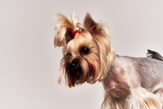Mały pies yorkshire terrier pozowanie na białym tle