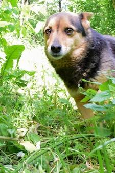 Mały pies ze spłaszczonymi uszami ze strachem wpatruje się w kadr w wysokiej zielonej trawie. niewyraźne tło