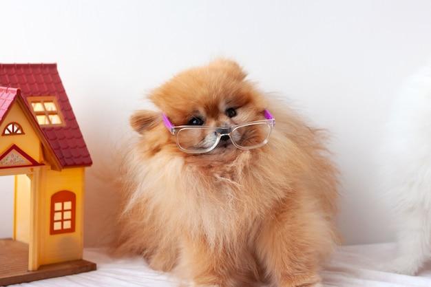 Mały piesek pomorskiego koloru pomarańczowego przestraszony, bardzo zdziwiony, siedzący na białym tle w okularach, okulary zsunięte w dół, pomorskie odwraca wzrok, obok domku z zabawkami.