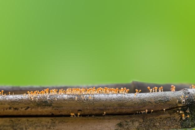 Mały pomarańczowy grzyb na martwym bambusie z kroplą wody