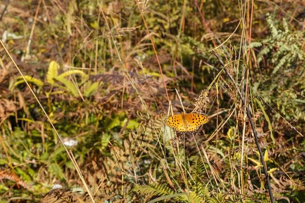 Mały pomarańczowy motyl z czarnymi plamami na skrzydłach siedzi na trawie