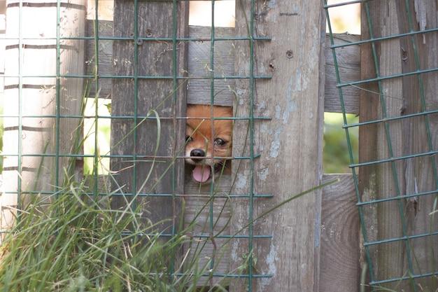 Mały pomorski pies o jasnopomarańczowym kolorze siedzi za żelazną siatką za ogrodzeniem i wygląda przez szczelinę.