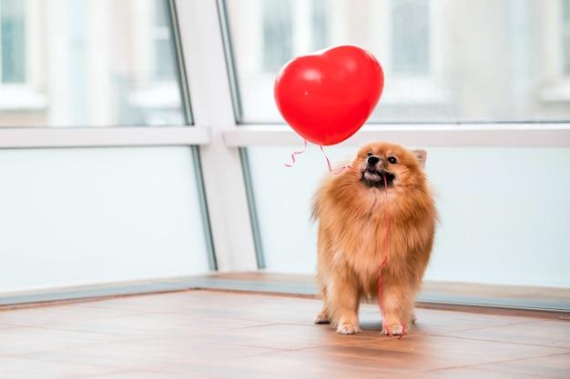 Mały pomorski piesek trzyma w zębach balon w kształcie serca za pomocą sznurka