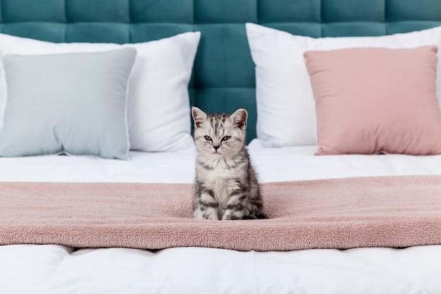Mały pręgowany kotek szkocki zwisłouchy na łóżku