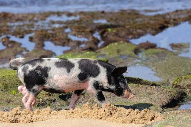 Mały prosiaczek na plaży nad oceanem?