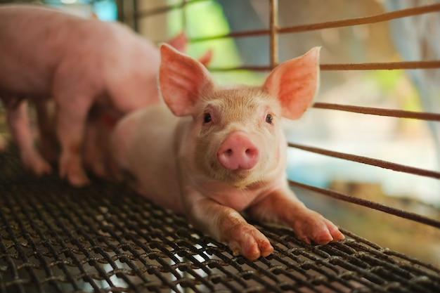Mały prosiaczek śpi w gospodarstwie rolnym. grupa świniowata salowa czekanie karma.