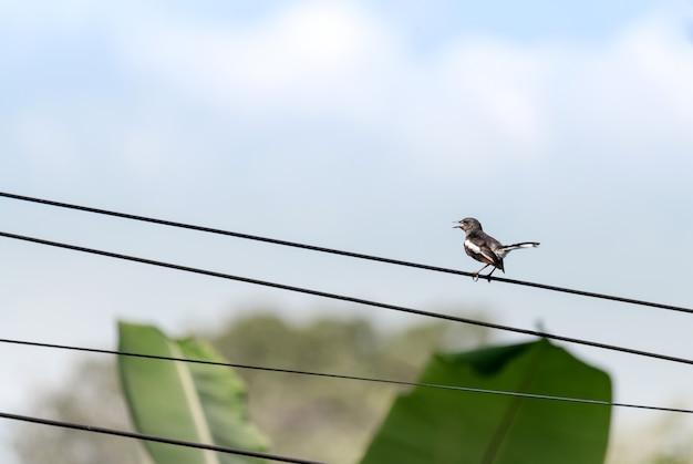 Mały ptak z otwartym dziobem stojący na przewodzie elektrycznym na wsi z jasnym niebem