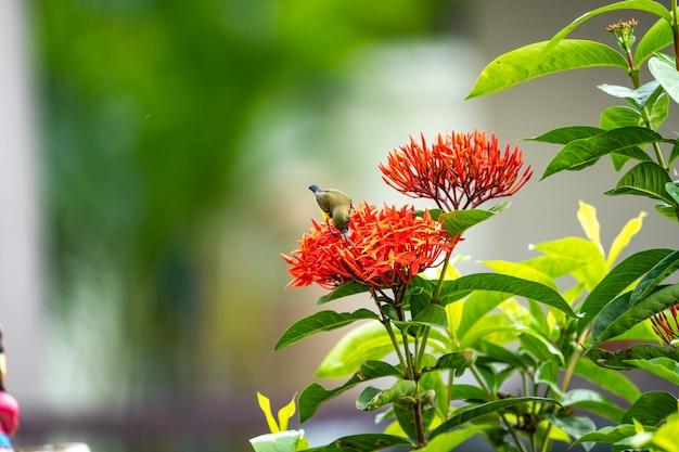 Mały ptaszek stoi i zjada owocolistek z czerwonego kwiatu szpikulca.