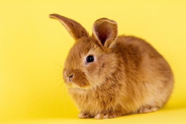 Mały puszysty czerwony easter królik na żółtym tle, wielkanocny królik z miejscem dla pisze. puszysty królika zakończenie na żółtym tle