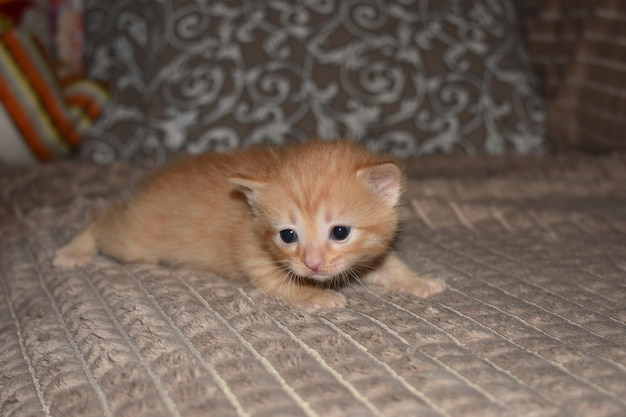 Mały puszysty czerwony kotek bawi się na kanapie
