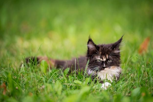 Mały puszysty figlarny szary pręgowany kotek rasy maine coon spaceruje po zielonej trawie.