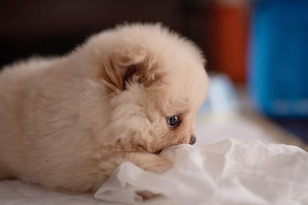 Mały puszysty jasnobrązowy pomorski szczeniak leżący na białej podkładce gryzie bibułkę w nieostrości
