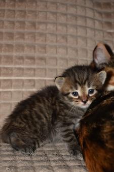 Mały puszysty kociak w paski na kanapie