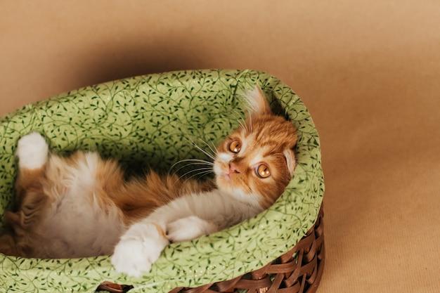 Mały puszysty kotek imbir leży w wiklinowym koszu na jasnobrązowym tle