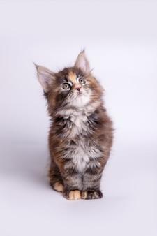 Mały puszysty kotek maine coon