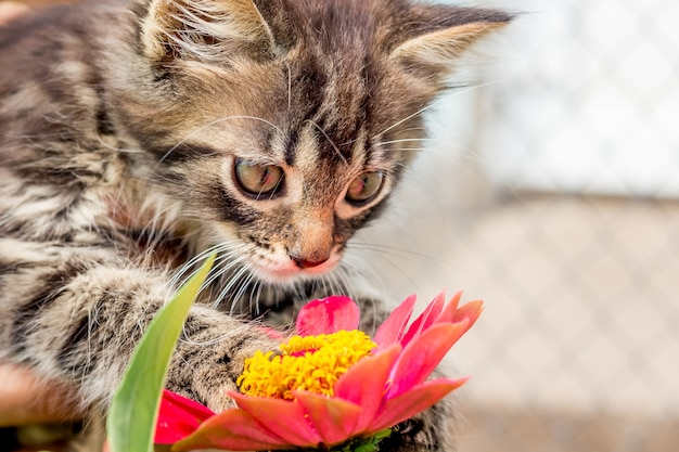 Mały, puszysty kotek patrzy na kwiat cyni