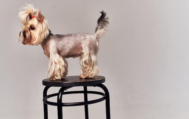 Mały rasowy pies corgi z warkoczykami na głowie beżowa ściana zwierzaka.