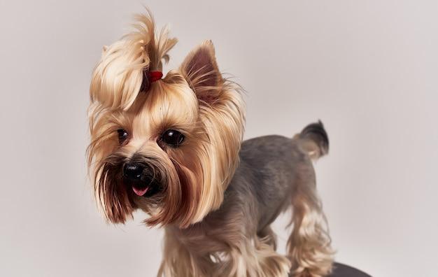 Mały rasowy pies corgi z warkoczykami na głowie beżowym tle.
