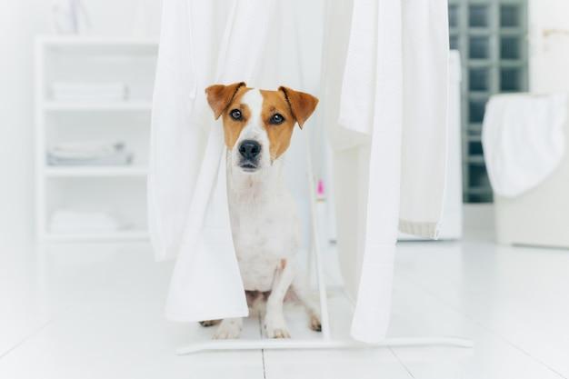 Mały rodowód pies pozuje na białej podłodze w pralni
