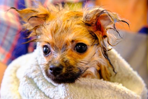 Mały rudowłosy pomorski pies w ręczniku po prysznicu.