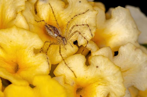Mały ryś pająk gatunku peucetia rubrolineata