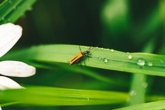 Mały ścigi cerambycidae na błyszczącej zielonej trawie z rosa kroplami blisko stokrotki zakończenia up