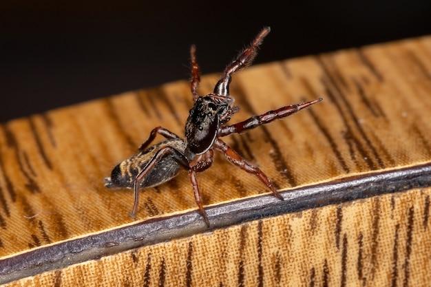 Mały skaczący pająk z gatunku breda modesta