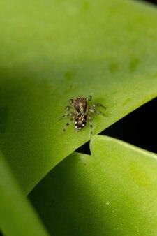 Mały skaczący pająk z podgrupy freyina