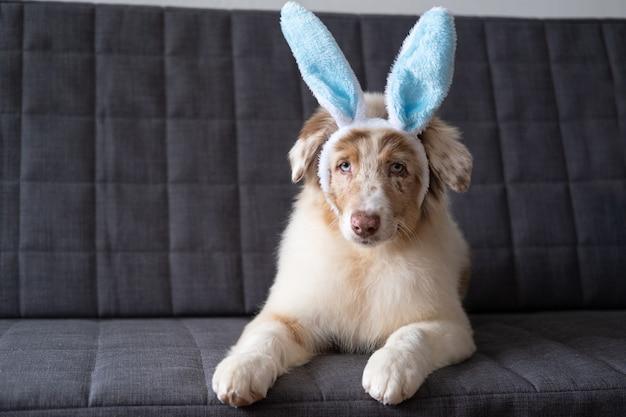 Mały śliczny australijski pasterz czerwony merle szczeniak sobie uszy królika. święta wielkanocne. leżąc na sofie.