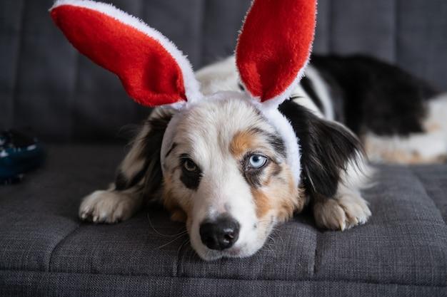 Mały śliczny, ciekawy owczarek australijski blue merle pies noszący uszy królika. święta wielkanocne. leżąc na kanapie kanapa. wesołych świąt wielkanocnych