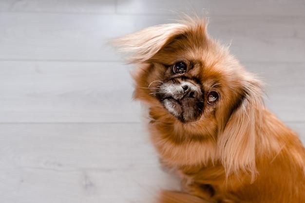 Mały śliczny imbirowy pekińczyk patrzeje kamerę. najlepsze poziome rywalizują zwierzęta domowe i koncepcja opieki