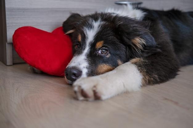 Mały śliczny owczarek australijski trójkolorowy szczeniak bawi się z wielkim sercem. walentynki. wszystkiego najlepszego z okazji urodzin. oddane oczy. leżąc na podłodze