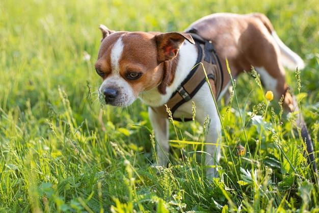 Mały śliczny pies chihuahua stojący w letni dzień zachód słońca