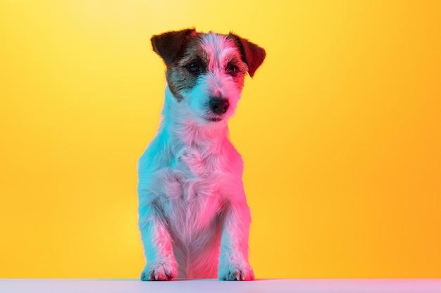 Mały śliczny pies terier pozuje na białym tle nad studio w neonowych światłach