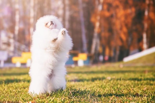 Mały śliczny puszysty biały szpic pies chodzi po parku w słoneczną, ciepłą pogodę