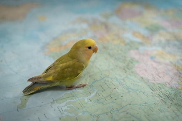 Mały śliczny zwierzę domowe ptaka gmeranie na mapie dla podróży