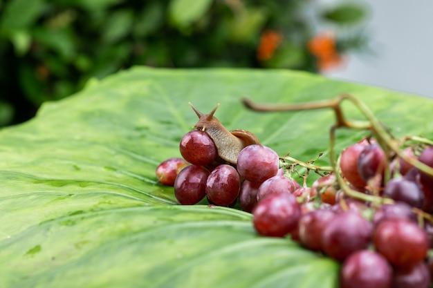 Mały ślimak achatina czołgający się na mokrych czerwonych winogronach