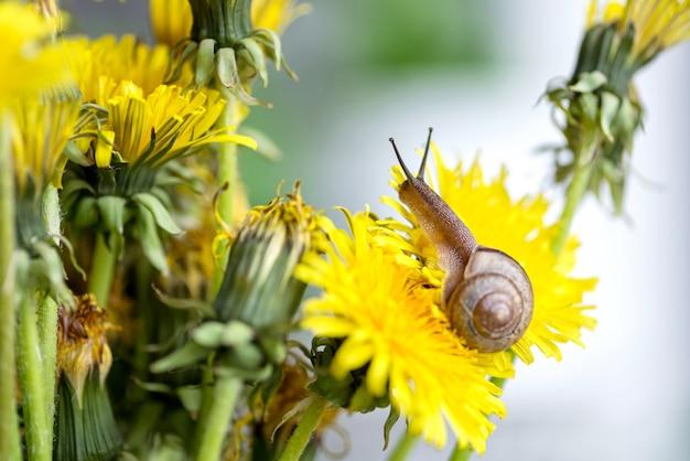 Mały ślimak czołga się po żółtym kwiecie mniszka