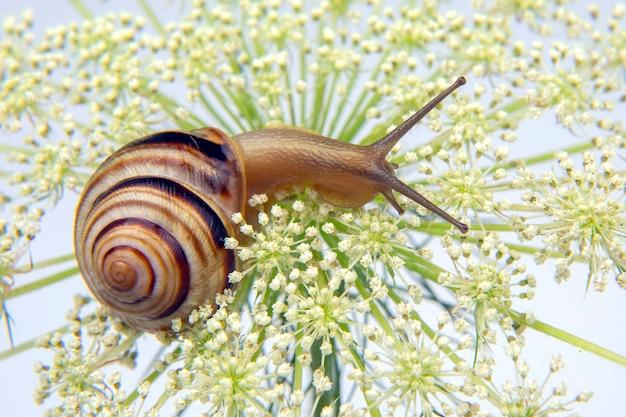 Mały ślimak czołgający się na kwiatku. mięczaki i bezkręgowce. delikatne mięso i wykwintne potrawy.